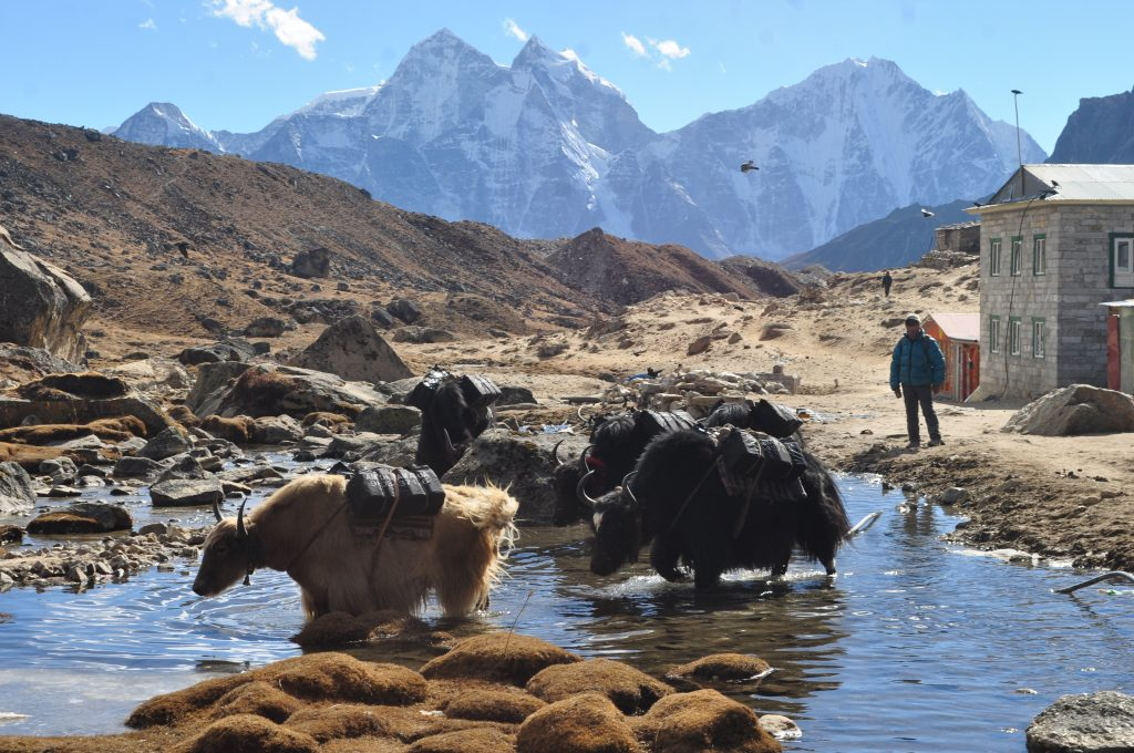 yak in Everest Region